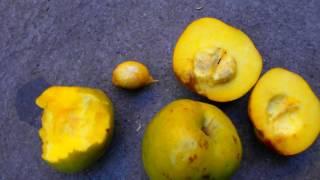 Matasanos matasano frutas de Centroamérica