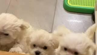 8 weeks old Maltese puppy