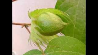 綿花の成長 Life cycle of Cotton ~veranda gardening~