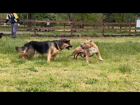 Download German Shepherd Attacks Pitbull [OFF LEASH DOG PARK] Part 1