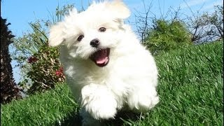Male Akc Registered Maltese Puppy Available For Adoption In San Diego, Ca