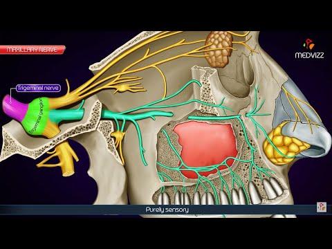 Maxillary division of Trigeminal nerve (V2 or Vb) / Maxillary nerve