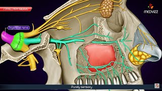 Maxillary division of Trigeminal nerve (V2 or Vb) / Maxillary nerve - Anatomy medical animations