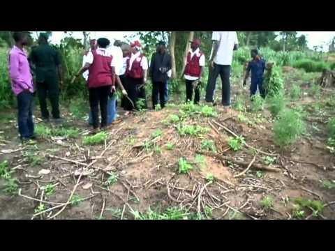 NDLEA destroys 24 hectares of cannabis in Oyo