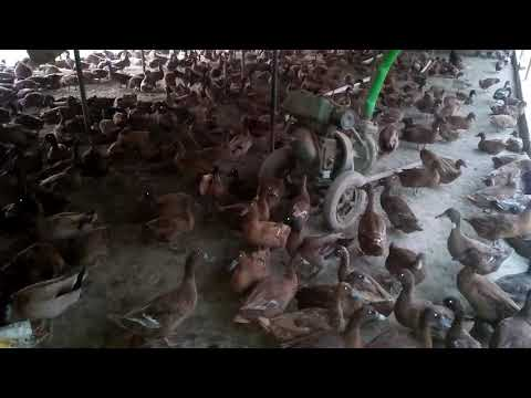 Khakhi campbell duck || Duck farm in up dist raebareli