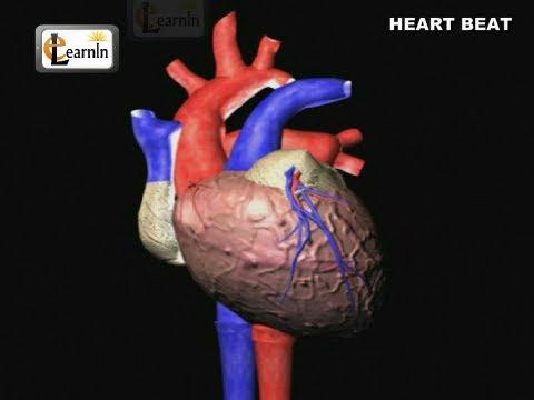 Heartbeat Explained | Lub dub | Cardiac cycle | Heart Sound | Human Anatomy video 3D | elearnin