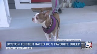 Boston Terrier rated KC's favorite dog breed