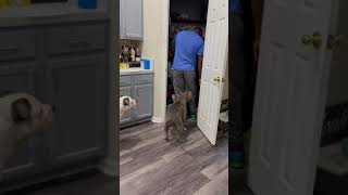 I caught my husband sneaking extra treats to our dogs! Wait for his reaction! LOL!
