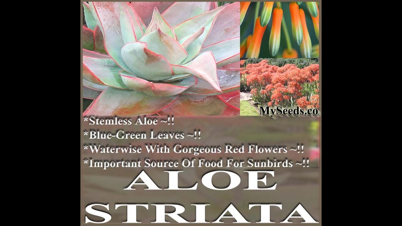 Image result for Aloe Striata