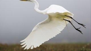 Восточная рифовая цапля Индийский клювач Большая белая цапля