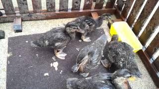 Domestic Duck - 꼬리흔드는 오리