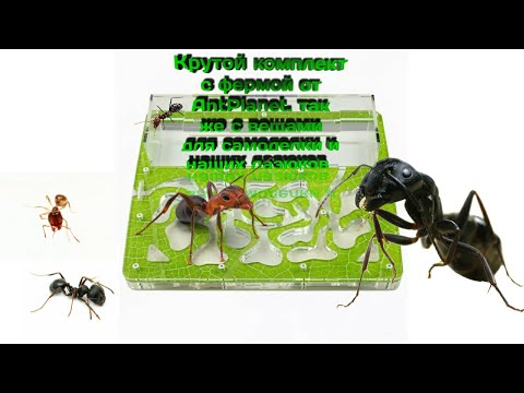 Обзор на комплект с фермой стандарт от AntPlanet и муравьями Messor Structor