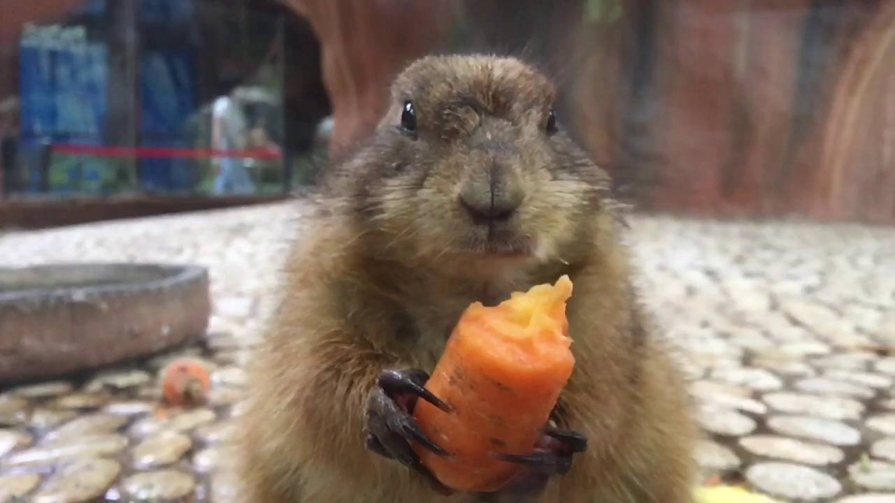 Groundhogs Eating Carrots In Slow Motion