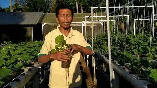 Melon hidroganik umur 65 hari dan 15 hari