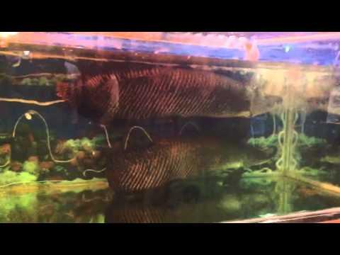 Cặp cá tai tượng khổng lồ tại nhà hàng sinh thái Bình Xuyên