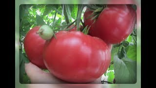 Как вырастить помидор великан!?