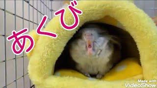 【チンチラ】 あくびをするチンチラ可愛すぎ! cute ch…