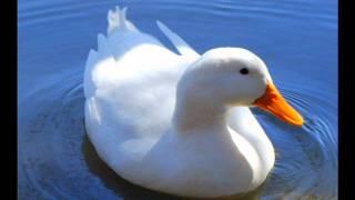 Play Little White Duck