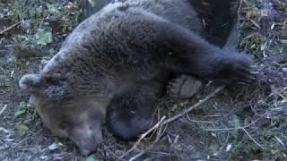 Letzte Mahlzeit des Bären: Beeren und Mäuse ORF Kärnten heute