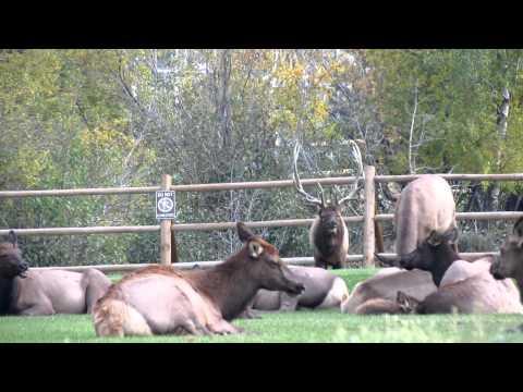 Estes Park, CO Elk Attack Sept 2012.MOV