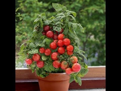 How To Grow Tomato Plant In Container Care Hindi Urdu