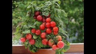 How to grow tomato plant in container || how to care tomato plant (hindi/urdu)
