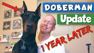 My Doberman Puppy is 1-Year-Old!