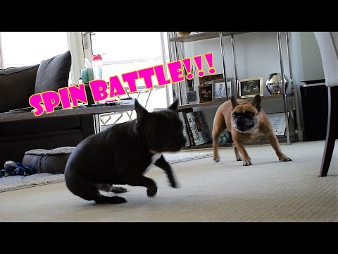 French Bulldogs Bill & Ted Spin Battle!