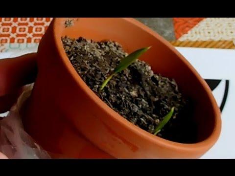 Palm Seedlings Update - potting them on