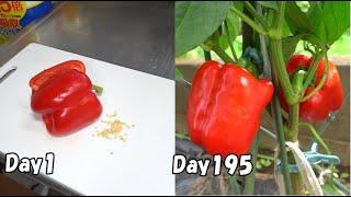 スーパーのパプリカを種から育てる / How to grow bell pepper from store-bought bell pepper
