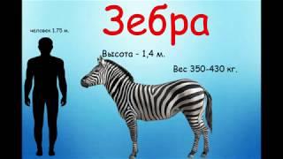 Дикие животные для детей.  Зебра