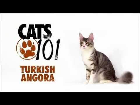 Cats 101 Turkish Angora