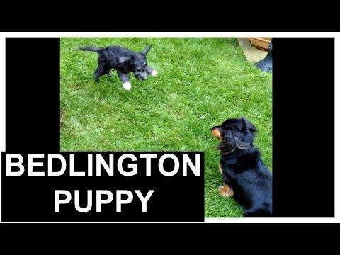 Bedlington terrier puppy 2016