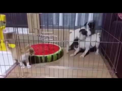 1 video lucu terbaru bikin ngakak anjing takut kucing