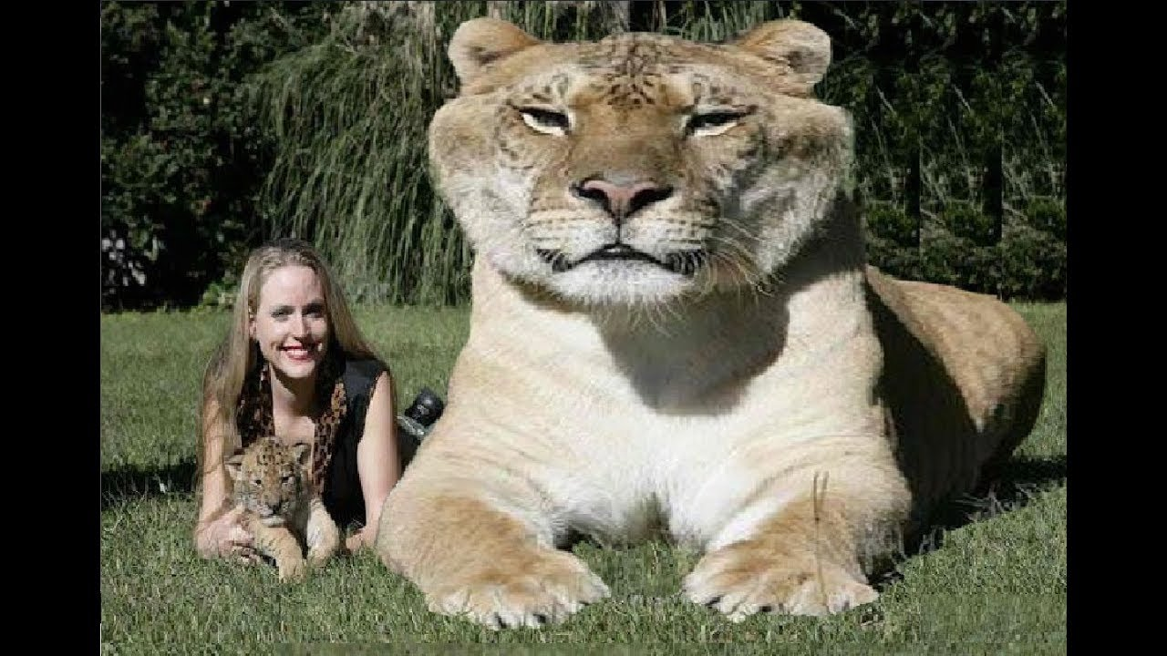 Eye on the Tiger: the world's largest ever exhibition of ...  |Biggest White Tiger In The World