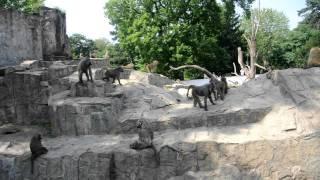 Zoo Wrocław - Pawiany masajskie 2