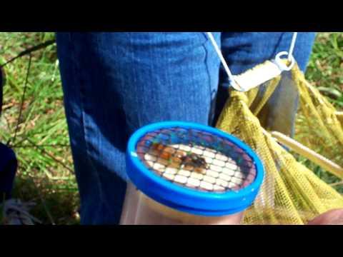 Marking a queen honey bee