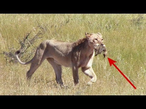 Starved lion kills 5 ostrich babies out of desperation | Wild animal hunt from Kgalagadi