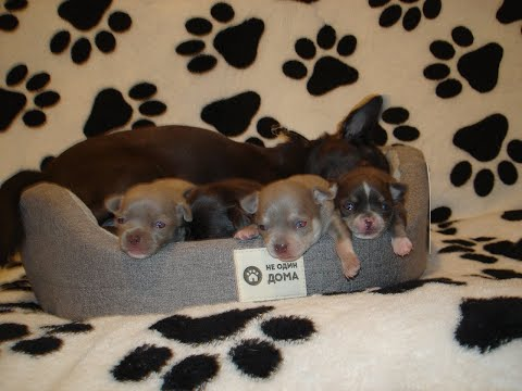 Funny dog Videos-Murashow/Мини чихуахуа лилового и голубого окрасов!