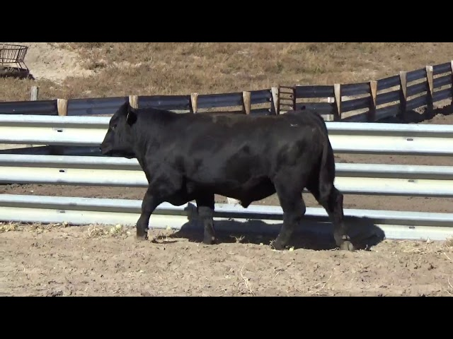 Connealy Angus Lot 189