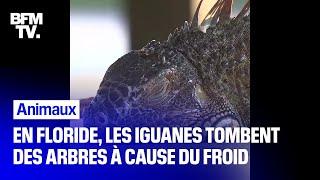 En Floride, les iguanes tombent des arbres à cause d'une vague de froid