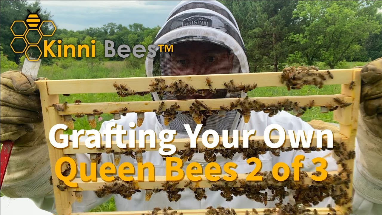 2 of 3- Grafting Queen Bees-