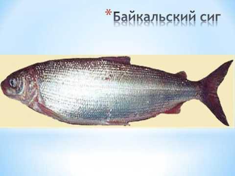 Вопрос: Почему выловленная в Байкале рыба быстро портится?
