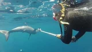 Mako Sharks in the Channel Islands, California - September 2013