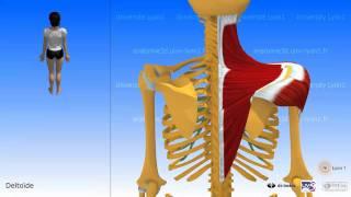 Muscle trapèze