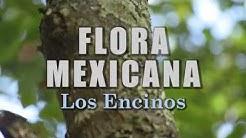 Los Encinos | La Flora de México