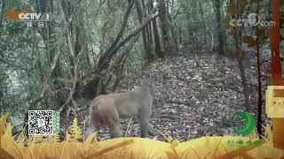 《秘境之眼》 猕猴 20201217| CCTV - YouTube