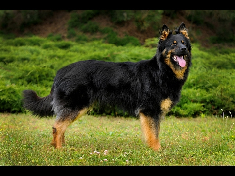 Bohemian Shepherd (Chodsky Pes) / Dog Breed