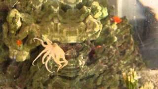 Monty - Octopus (?)