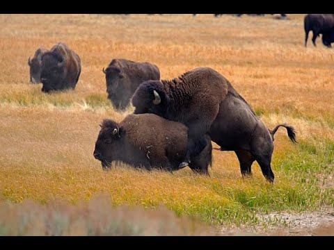 Yellowstone Bison in Mating Season   Animalsworld